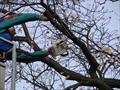 Альпинист пилит дерево, стоя в люльке автовышки