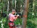 На стволе дерева делается запил