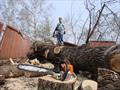 Распиловка огромного аварийного дерева