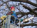Удаление дерева с помощью автогидроподъемника