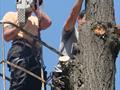 Спиливание деревьев с автовышки